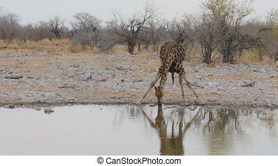Giraffe drinking on waterhole, Namibia, Africa wildlife -...