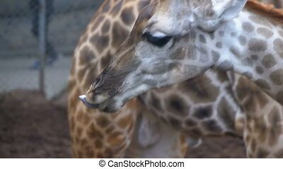 Giraffe drinking water from a reservoir in the form of a well. Slow Motion. Thailand.