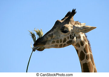 Giraffe eating a palm frond