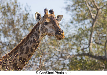 Giraffe eating at the tops of trees 1
