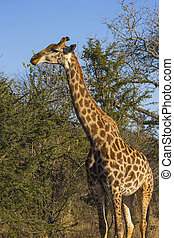 Giraffe eating at the tops of trees 3