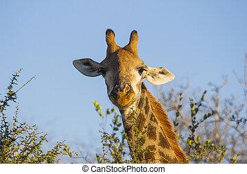 Giraffe eating at the tops of trees 5