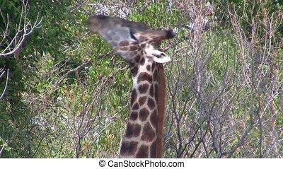 Giraffe Eating Closeup in Etosha National Park, Namibia