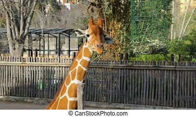 Giraffe eating foliage