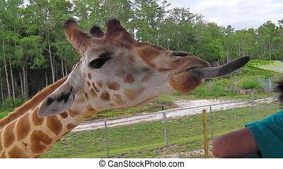 Giraffe eating lettuce - A giraffe stretching for eating...