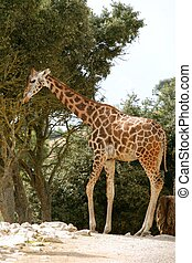 Giraffe eating stand up from a tree profile