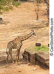 giraffe, essende
