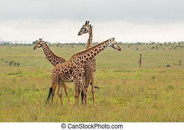 Giraffe family in Kenya - A giraffe family roaming freely at...