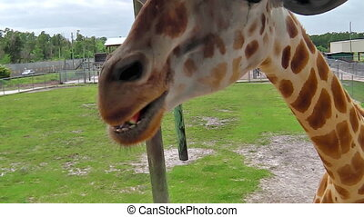 Giraffe feeding in Florida - A giraffe stretching for food...