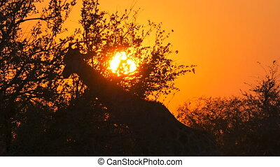 giraffe feeds silhouettes sunset