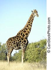 Giraffe, Franklin Nature Reserve in Bloemfontein