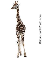 giraffe, freigestellt