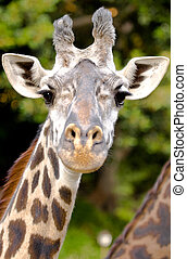 Giraffe in a zoo enclosure curiously gazing at the photographer's lens.