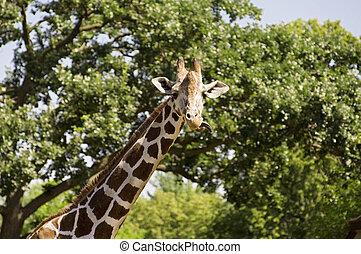 Giraffe Gaze - Photo of a reticulated giraffe with tongue ...