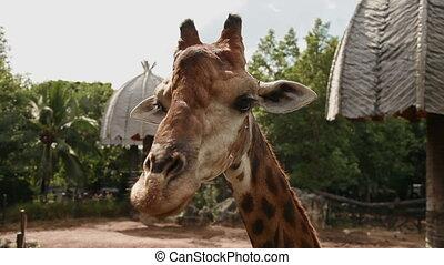 Giraffe (Giraffa camelopardalis). Close up footage. Dusit Zoo, Bangkok, Thailand.