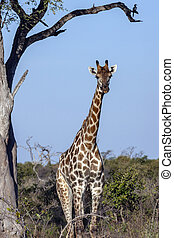 Giraffe (Giraffa camelopardalis) in the Savuti region of ...