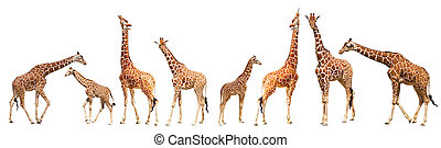 Giraffe (Giraffa camelopardalis), isolated on white ...