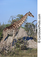 Giraffe (Giraffa camelopardalis) near a termite mound in the...