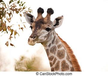 GIRAFFE (Giraffa camelopardalis) up close 2