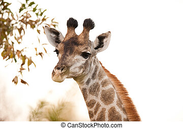 GIRAFFE (Giraffa camelopardalis) up close - GIRAFFE (Giraffa...
