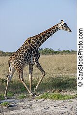 Giraffe (Giraffa camelopardalis) walking in the Savuti ...
