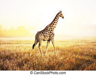 Giraffe - giraffe