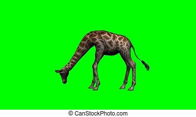 giraffe grazing on green screen video