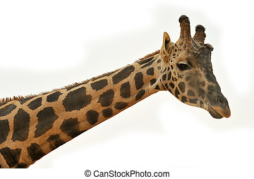Giraffe head against white background - Picture of a giraffe...