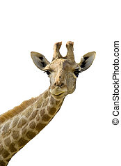 Giraffe head and neck over a white background