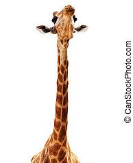 Giraffe head isolate on white - Close up shot of giraffe...