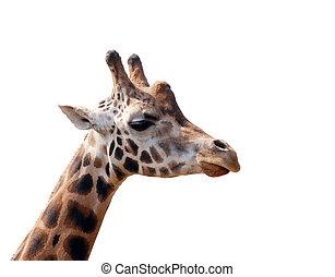 giraffe head isolated on white