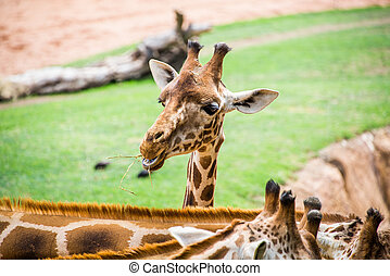 Giraffe head.