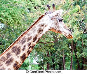 giraffe head with tree background