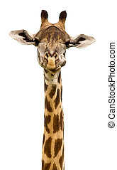 Giraffe Head isolated on a white background