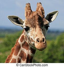 Giraffe head  - Head and neck of a giraffe