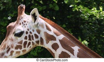 Giraffe head with neck on green background. Giraffa camelopardalis reticulata