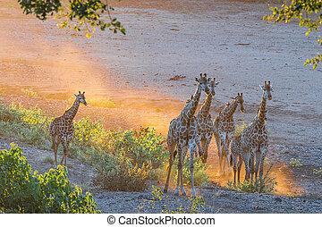 Giraffe herd in the last rays of sunlight