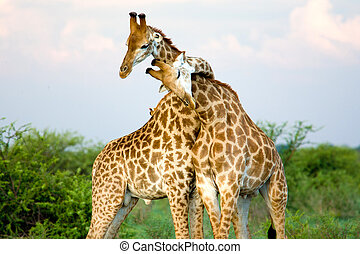 Giraffe hug - A pair of giraffe entwining their necks