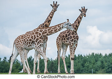 Giraffe in a wildlife reserve - Details of giraffe life in a...