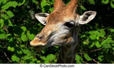 Giraffe in a zoo