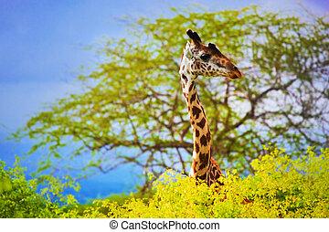 Giraffe in bush. Safari in Tsavo West, Kenya, Africa -...