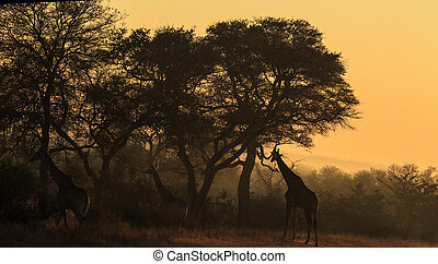 Giraffe in early morning light