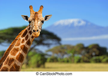 Giraffe in front of Kilimanjaro mountain - Amboseli national...