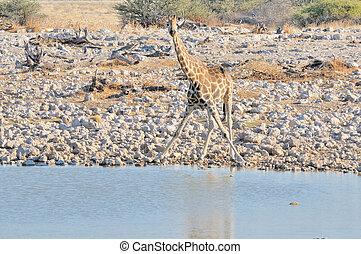 Giraffe in funny position