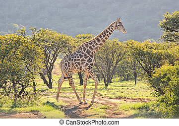 Giraffe in grass and acacia field in South Africa