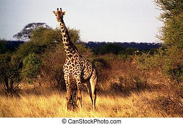 Taken on a Safari in the Tsavo-East national park in Kenya.
