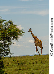 Giraffe walking through an open savannah in Masai Marai Game Reserve, Kenya