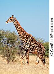 giraffe, in, natürlich, lebensraum