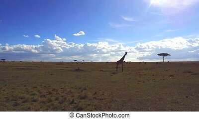 giraffe in savanna at africa - animal, nature and wildlife...