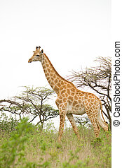 giraffe in savanna